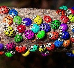 ...lady bugs...perhaps some males...
