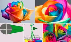 Cool DIY: Making a rainbow rose.