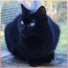 Fiona   Type : Race indéfinie Sexe : Femelle Age : Junior Taille : Moyen Lieu : Finistère - 29 (Bretagne)  Refuge :  REFUGE SPA PLOUHINEC(Finistère) Tél : 02 98 70 44 93   Fiona est une jeune chatte un peu peureuse qui aura besoin d'être apprivoisée avec douceur.