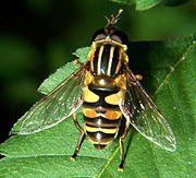 mints (spearmint, peppermint, or catnip) will attract predatory wasps, hoverflies, and robber flies