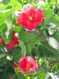 Flor Nacional de Puerto Rico Flor de Maga (Thespesia grandiflora)