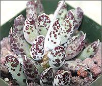 Andromischus Copperi Plover