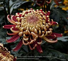 Crimson Tide Chrysanthemum what a beauty