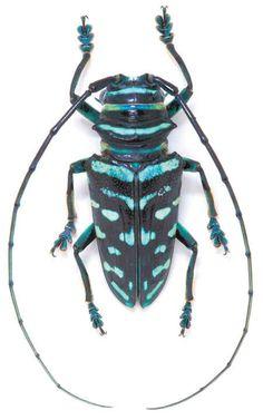 Sternotomis_virescens..