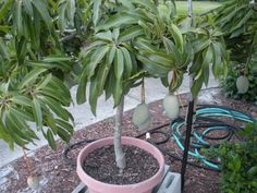 bananeira em vaso da fruto - Pesquisa Google