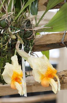 Orchids, Stanhopea saccata