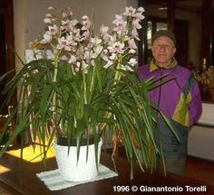 cymbidium e loro coltura;cymbidium species and their culture; Flower Tower, Home Flowers, Cymbidium Orchids, Orchidaceae, Outdoor Plants, Go Green, Ferns, Colorful Flowers, Evergreen