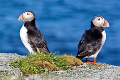 Norway - Atlantic Puffins