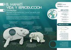 El manatí, vida y reproducción