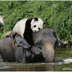 this is sooo cute. Some of my favorite animals all together! The elephant isn't afraid at all. It's amazing to me how something so big & strong can be so gentle & caring for others. Elephants and pandas are amazing! God bless them all :) Animals And Pets, Baby Animals, Funny Animals, Cute Animals, Baby Elephants, Baby Pandas, Elephants Photos, Baby Hippo, Red Pandas
