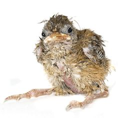 The Baby Bird Project: rescued chicks photographed by Gavin Parsons
