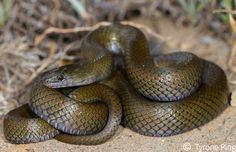 Lycodonomorphus inornatus ex Boaedon ex Lamprophis