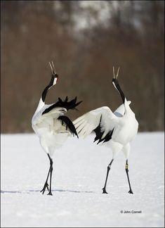 dancing cranes,photo