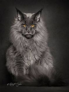 Photographer Robert Sijka sheds new light on the Maine Coon, the largest breed of domesticated felines.Tap the link to check out great cat products we have for your little feline friend! Chat Maine Coon, Maine Coon Kittens, Cats And Kittens, Tabby Cats, Pretty Cats, Beautiful Cats, Animals Beautiful, Cute Animals, Gato Grande