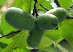 The Native, Tropical, and Nutritious Pawpaw