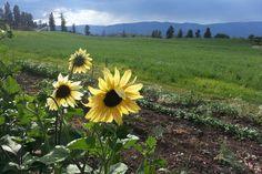 Sunflowers at McMillan Farms Sunflowers, Farms, Mountains, Nature, Travel, Homesteads, Naturaleza, Viajes, Destinations