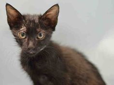 SEA SALT A1083576. SEA SALT and her five siblings were dumped in the Brooklyn center by someone who said they had no time for them. She is friendly and would be so happy if a special purrson would adopt her and maybe one of her siblings as a playmate! The ACC has been killing kittens and don't think that this cutie pie is not in danger. The second she catches the shelter cold she will go right to that dreaded list.