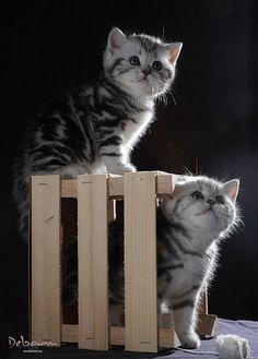 britse korthaar kittens blauw -  Spotted poesje DewiHet blotched poesjeDahlia
