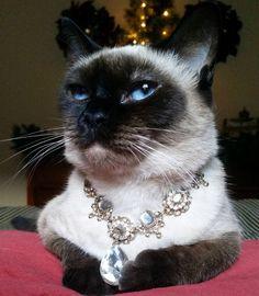 Her Royal Highness Crown Princess Allonwyn wearing the Great Catard Diamond. A holiday tradition. #HappyHolidays #ChristmasAtCatsfordia #KittiesOfCatsfordia #CatsfordDynasty #CatsOfInstagram...