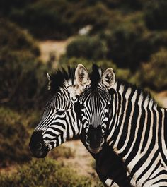 Zebras - Aquila Safari Private Game Reserve, Touws River, South Africa (by Isabella Jusková) Signes D'air, Happy4th Of July, Photographie Portrait Inspiration, In Another Life, Game Reserve, Zebras, Hd Photos, Best Funny Pictures, Pet Birds