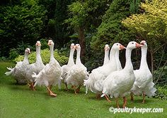 December is the Time for Pairing Geese | General Goose Keeping ...