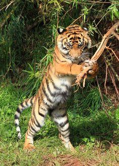 Batter Up! - Sumatran Tiger cub Kadi | by Mark Butcher