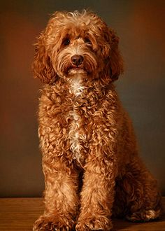 survey says my ideal dog is an australian labradoodle.