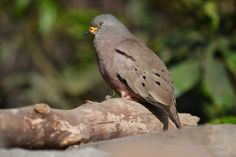 2555. Croaking Ground-dove (Columbina cruziana) | found in western Ecuador, Peru and far northern Chile in subtropical or tropical dry shrubland, subtropical or tropical moist shrubland, subtropical or tropical high-altitude shrubland, and heavily degraded former forest