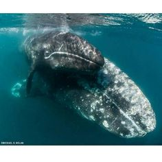 """You are my Sonshine! """"Gray whales sometimes prepare their calves for the long swim back to their arctic feeding grounds by bringing them into the fast-moving channels where they swim against the current to build their strength and stamina.""""- Lindblad Expeditions-NatGio - This is #BajaCalifornia!"""