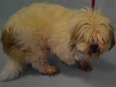 SAFE - 12/22/15 - TO BE DESTROYED - 12/22/15 - **RETURNED 12/17/15** - SAFE - 12/13/15 - **SENIOR ALERT** - SONNY - #A1060443 - Super Urgent Brooklyn - MALE WHITE/BROWN LHASA APSO MIX, 13 Yrs - STRAY - HOLD FOR ID Intake 12/13/15 Due Out 12/21/15