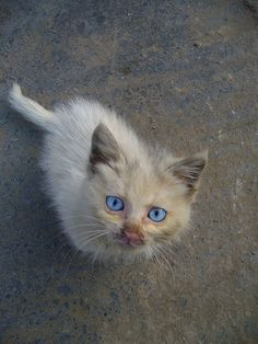Kitten - Grey Cat - Ideas of Grey Cat - stray little grey cat with big blue eyes this cat is beautiful. The post Kitten appeared first on Cat Gig. Little Kittens, Cute Cats And Kittens, Kittens Cutest, Domestic Cat Breeds, Baby Animals, Cute Animals, Bobtail Cat, Cat With Blue Eyes, Cats For Sale