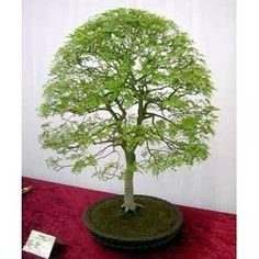 Seeds and Things Chinese Pistachio Tree 10 Seeds - Grow Outdoors or As a Bonsai Seeds and Things http://www.amazon.com/dp/B00725972I/ref=cm_sw_r_pi_dp_MR3wwb0DG7NHK