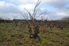 #LoireHiver Majestueux cep de vigne vers Beaulieu sur #Layon