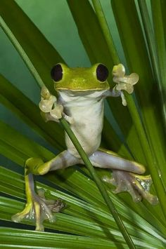 Cute and funny frog pictures free. All pictures in high quality. These funny frogs will bring smile on your face. Funny Frogs, Cute Frogs, Baby Animals, Funny Animals, Cute Animals, Wild Animals, Beautiful Creatures, Animals Beautiful, Frog And Toad