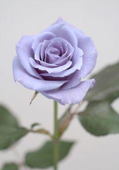Resultado de imagem para rose flowers wallpapers for mobile
