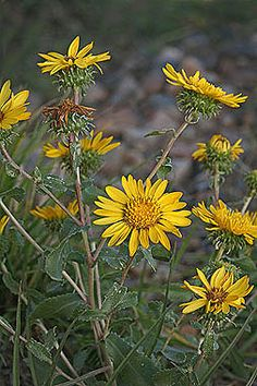 Grindelia squarrosa - Curlycup gumweed - Aster Family (Asteraceae) - Summer and Late - Colorado Wildflower
