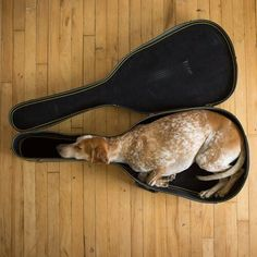 Sleeping dog in musical instrument case....cute!