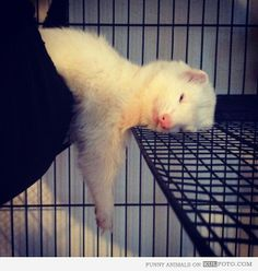 Sleeping ferret - Funny and cute white ferret sleeping with hanging paws.