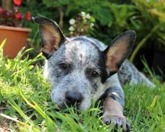 Australian koolie dog photo | ... female cattle dog with cinnamon paws she is a typical cattle dog in