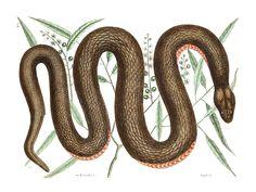 Mark Catesby, Copper Belly Snake. Nerodia erythorgaster neglecta. Natural History of Carolina, Florida and The Bahama Islands - Volume 2, Pl...