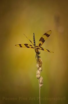 Dragonfly on a stalk of wheat. by Poconofineartphoto on Etsy, $20.00