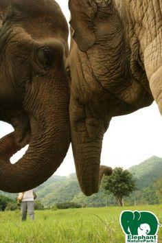 Faa Mai and Dani,best friends Elephant Talk, Elephant Nature Park, Elephant Sanctuary, African Bush Elephant, Asian Elephant, Chiang Mai Thailand, Vulnerability, Conservation, True Love