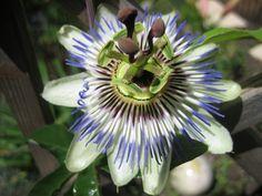 Passiflora Paradise, Garten