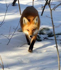 De gewone vos, ofwel de rode vos, is een van de grootste roofdieren die nog vrij in de Benelux te vinden is. Ook is de vos te vinden in Australië waar hij speciaal is uitgezet voor de jacht.    Foto: All rights reserved by anjoudiscus