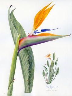 Strelitzia 1368 by Helen Fitzgerald