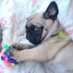 Baby pug suddenly hears the sound of a fridge opening