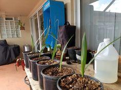 Canary Island Date Palm, Plants, Plant, Planets