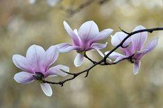 Magnolia Trio by Ann Bridges Flor Magnolia, Magnolia Branch, Magnolia Flower, My Flower, Flower Art, Orchid Care, Flower Quotes, Arte Floral, Flowers Nature