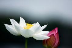 White & red lotus by LEE INHWAN, via 500px