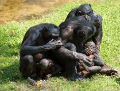 """Bonobos Predisposed to Show Sensitivity to Others  Jan. 30, 2013 — Comforting a friend or relative in distress may be a more hard-wired behavior than previously thought, according to a new study of bonobos...Consolation has been observed in humans, bonobos, chimpanzees and other animals, including dogs, elephants and some types of birds, but has not been seen in monkeys..."""